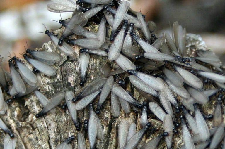 Le termite